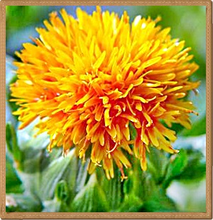 Bunga Safflower