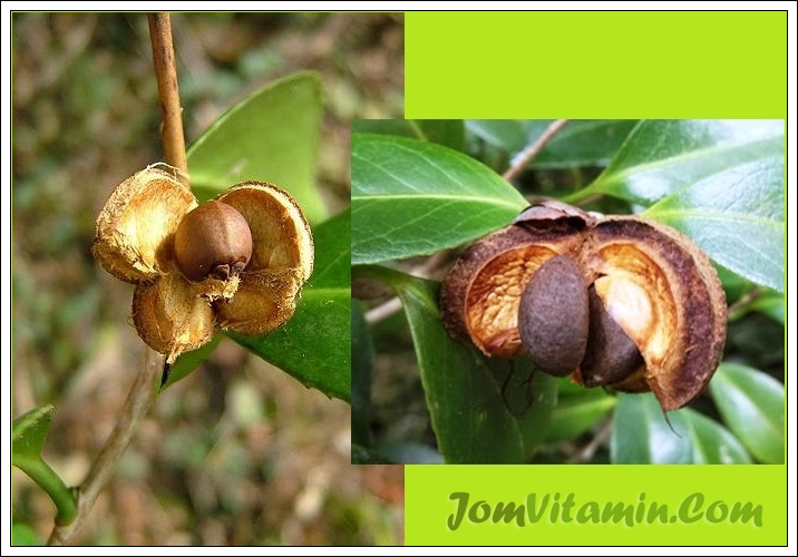 camellia japonica seed