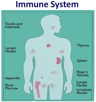 sistem imun